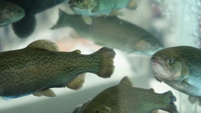 lax simmar i akvariet i butiken - meta bildbanksvideor och videomaterial från bakom kulisserna
