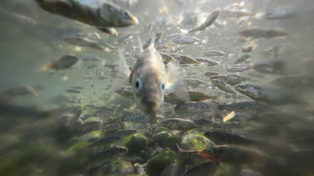 salmone in acqua - trout video stock e b–roll