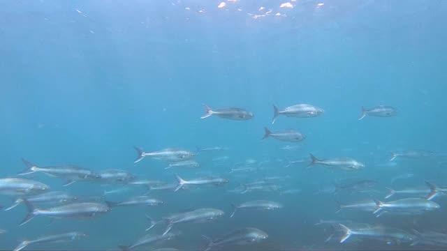 salmons - süßwasserfisch stock-videos und b-roll-filmmaterial