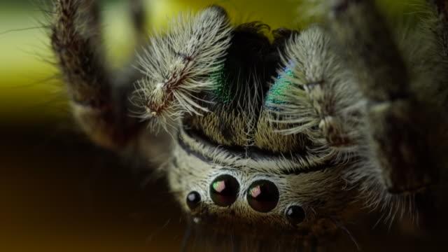 hoppspindlar hoppande spindel - spindel arachnid bildbanksvideor och videomaterial från bakom kulisserna