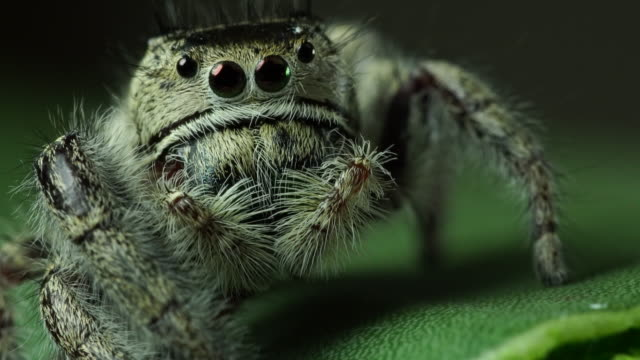Salticidae Jumping Spider