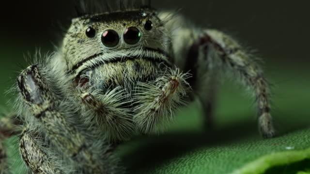 vídeos y material grabado en eventos de stock de araña que salta de salticidae - peludo