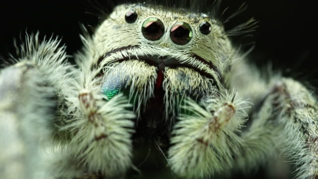 salticidae jumping spider - część ciała zwierzęcia filmów i materiałów b-roll