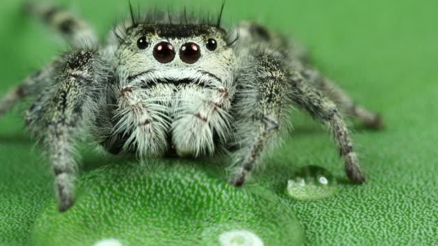 salticidae jumping spider - pająk filmów i materiałów b-roll