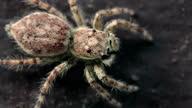istock Salticidae (Jumping Spider) 1325210450