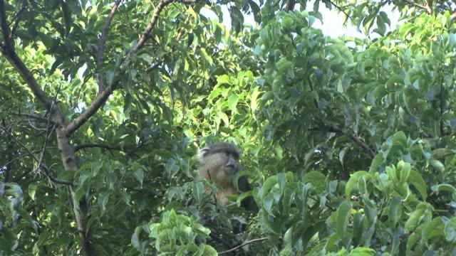 stockvideo's en b-roll-footage met samango monkey - minder dan 10 seconden