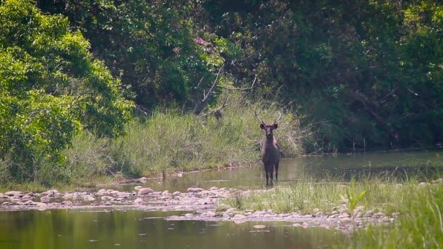 sambar deer in bardia national park, nepal - park narodowy kanha filmów i materiałów b-roll