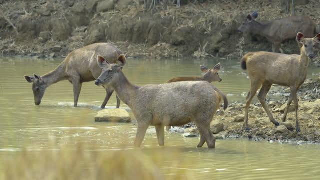 Sambar deers feeding on algae from the water in slow motion