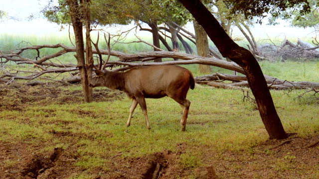 sambar rusa unicolor is a large deer native to the indian subcontinent, south china, and southeast asia that is listed as a vulnerable species. ranthambore national park sawai madhopur rajasthan india - madhya pradesh filmów i materiałów b-roll