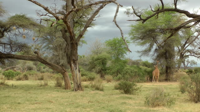 Samburu game reserve video