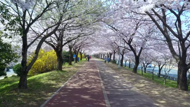Samnak Ecological Park, Spring pink cherry blossom tree and walk path in Busan City, Busan, South Korea. Samnak Ecological Park, Spring pink cherry blossom tree and walk path in Busan City, Busan, South Korea. april stock videos & royalty-free footage