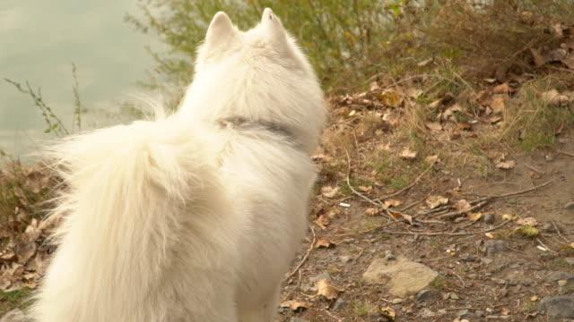 vídeos de stock e filmes b-roll de samoyed dog in park - samoiedo
