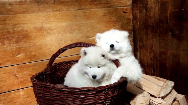 vídeos de stock e filmes b-roll de samoiedo cachorros cão - samoiedo