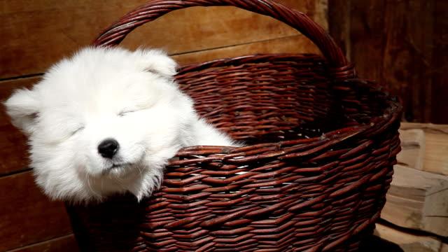 vídeos de stock e filmes b-roll de samoiedo cachorrinho cão - samoiedo