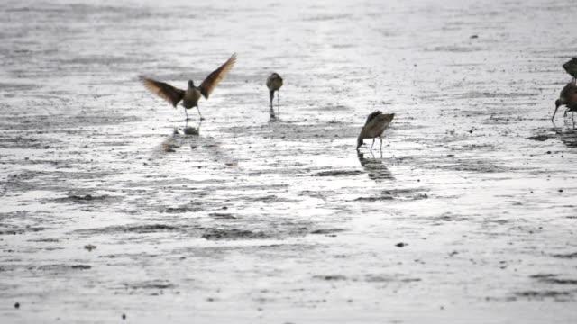San Francisco Bay, a Natural Wetland,  shore birds feeding at low tide San Francisco Bay, a  Wetland, shore birds feeding at low tide near San Mateo Hayward bridge. marsh stock videos & royalty-free footage
