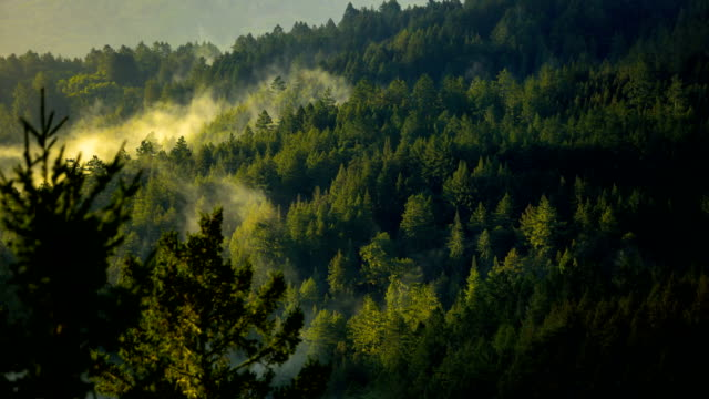 San Francisco bay: Redwood Forest early in the morning
