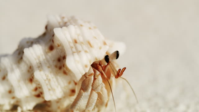 CU Sand crab emerging from shell and scurrying on white sand beach,Maldives CU Sand crab emerging from shell and scurrying on white sand beach,Maldives. Rack Focus,Real Time. Shot in 8K Resolution. animal shell stock videos & royalty-free footage