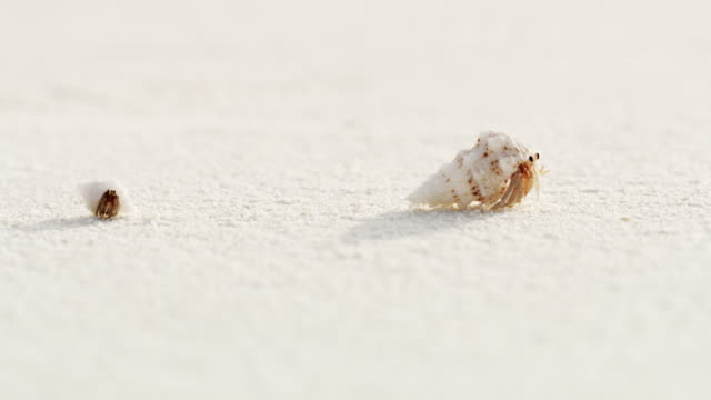 cu sand crabs emerging from shells,scurrying on white sand beach,maldives - раковина животного стоковые видео и кадры b-roll