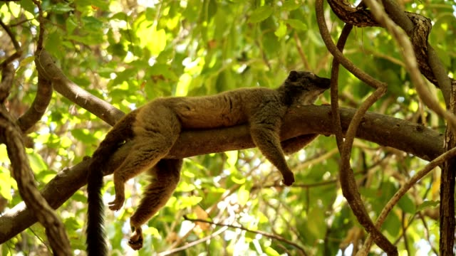 Sanford's Brown Lemur a Lemur rests on a tree branch in a forest of Northern Madagascar madagascar stock videos & royalty-free footage