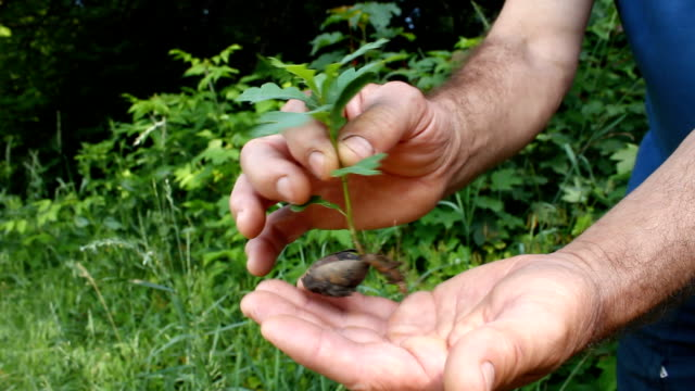 Sapling an oak. video
