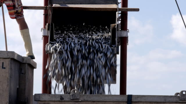 sardine catch close up of a fishing boat unloading its catch of sardines tuna seafood stock videos & royalty-free footage