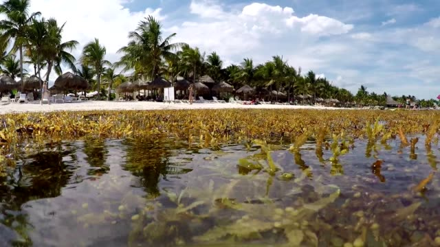 Sargasso Seaweed Floating In The Caribbean Beach Of Akumal In Mexico