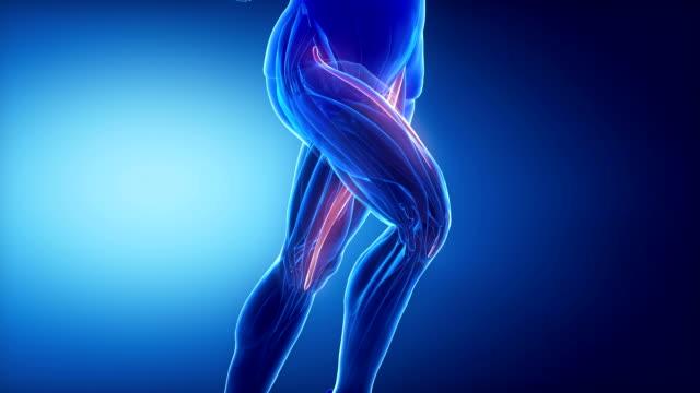 schneidermuskel bein muskeln anatomie anaimation - gliedmaßen körperteile stock-videos und b-roll-filmmaterial