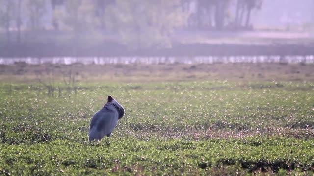 żuraw sarus w parku narodowym bardia, nepal - park narodowy kanha filmów i materiałów b-roll