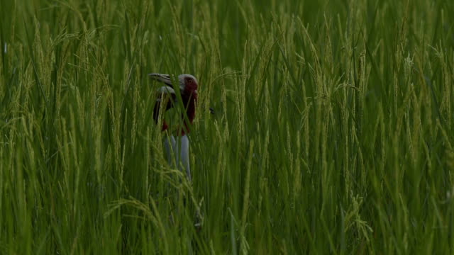 Sarus Crane(Grus antigone) Sarus Crane in a beautiful rice field zoology stock videos & royalty-free footage