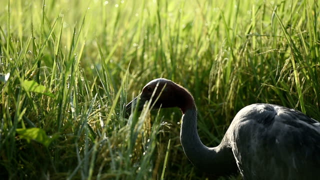 Sarus Crane(Grus antigone) Sarus Crane feeding in a beautiful rice field in the morning. zoology stock videos & royalty-free footage