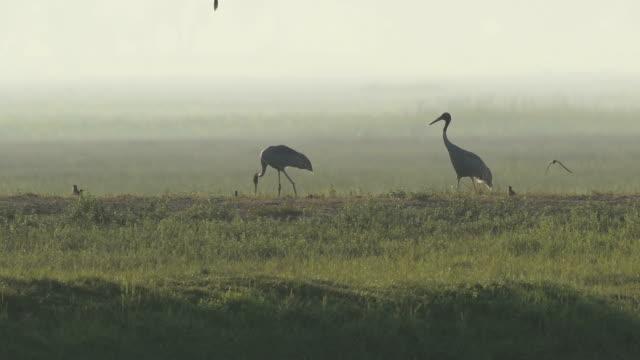 Sarus Crane(Grus antigone) video