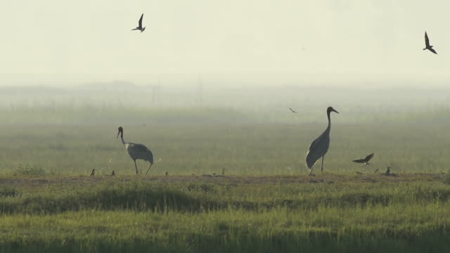 Sarus Crane(Grus antigone) video