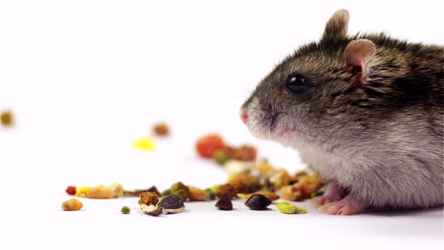 Satisfied hamster surrounded by food taken from a low angle. video