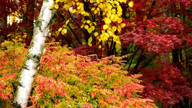 vidéos et rushes de couleur saturée automne feuilles érable birch aspen automne saison - couleur saturée