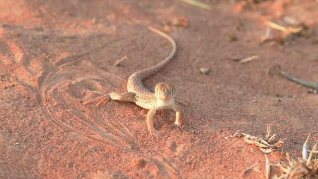 사막 모래에서 먹을 개미를 찾고 있는 사우디 프린지 핑거 도마뱀(아칸토다틸루스 곤로린차투스). - saudi national day 스톡 비디오 및 b-롤 화면