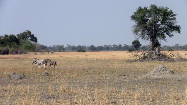 Savanna with Tree and Zebras in Makgadikgadi, Botswana Dry Savanna Landscape with Tree and Zebras in Makgadikgadi National Park, Botswana, Africa makgadikgadi pans national park stock videos & royalty-free footage