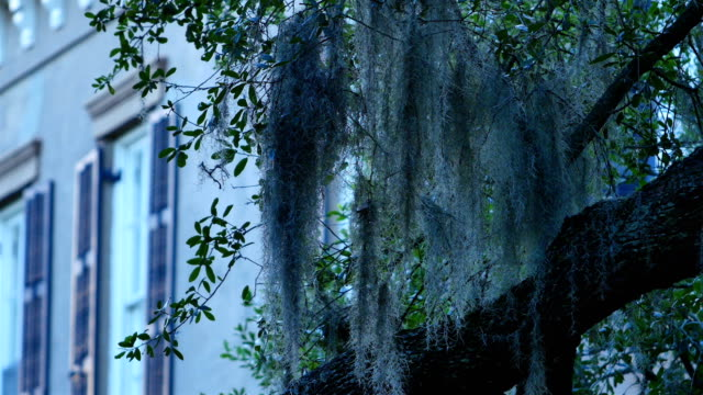 savannah, ga: spanish moss covered architecture - muschio flora video stock e b–roll