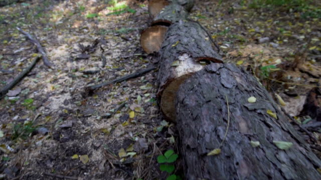 sawn tree trunk in the forest - albero caduto video stock e b–roll