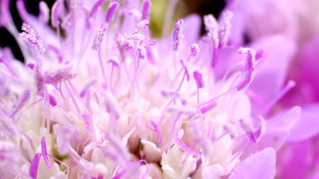 scabiosa flower blooming - time lapse - kwiat roślina filmów i materiałów b-roll