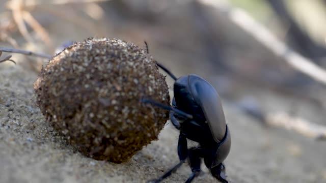 vidéos et rushes de scarab roule la balle - insecte