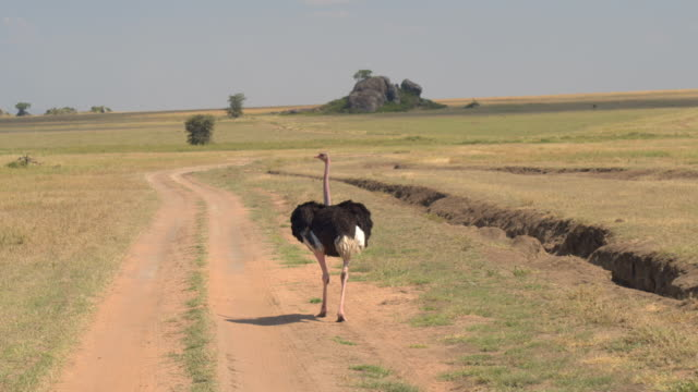 CLOSE UP: Scared African ostrich running on dusty safari road with wings spread video