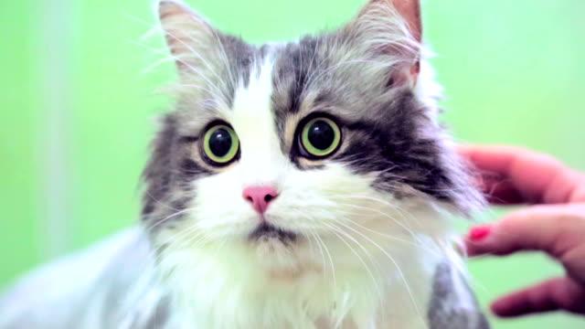vídeos y material grabado en eventos de stock de asustada cat en clínica veterinaria - animales de granja