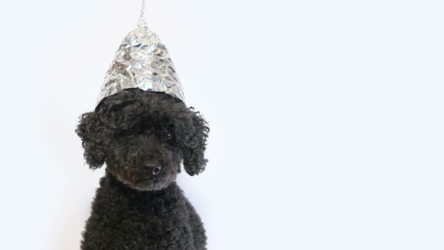 scared dog with a tin foil hat, white background - aluminum foil stock videos & royalty-free footage