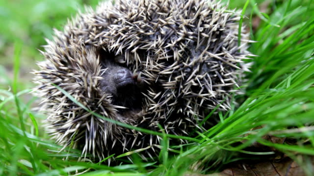 Scaring curled hedgehog Scaring curled hedgehog. bent stock videos & royalty-free footage