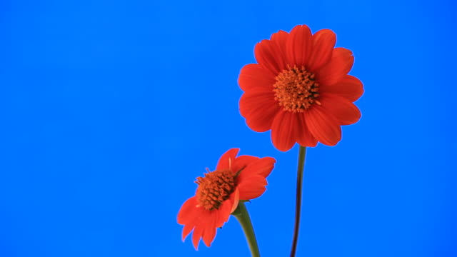Scarlet flower. video
