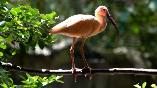 stockvideo's en b-roll-footage met rode ibis vogel - snavel