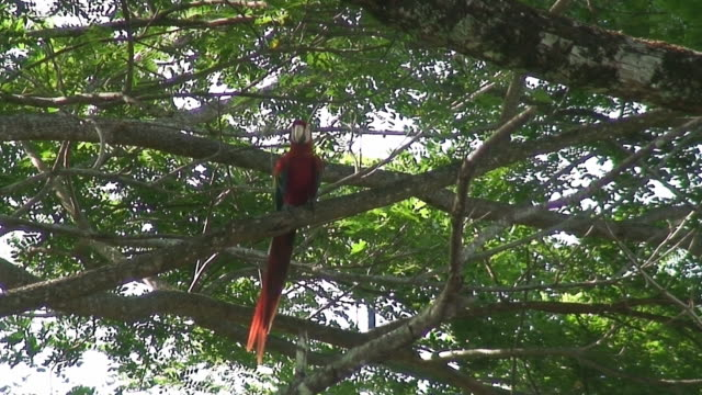 Scarlet Macaw in the wild video