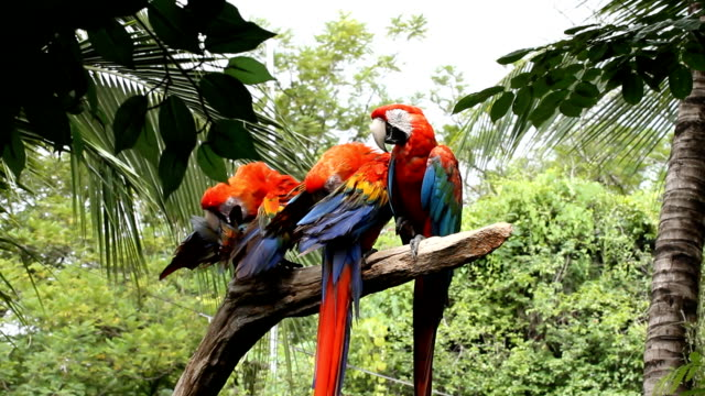 Scarlet Macaw on Perch video