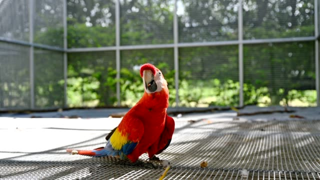 Scarlet Macaw opening peanut with eating in cage