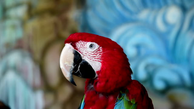 Scarlet Macaw video